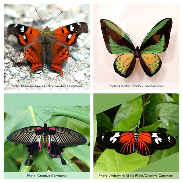 Four beautiful butterflies. Collage.