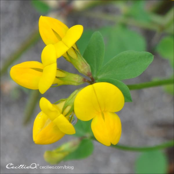 Reference photo of yellow Bird's Foot Trefoil flower.