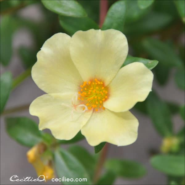Photo of a yellow wild rose