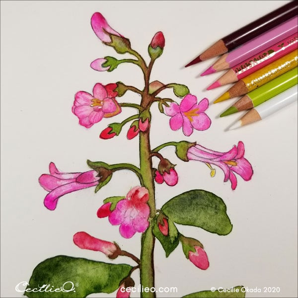 Refining more details with an assortment of pink, red and green colored pencils.