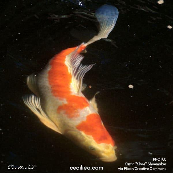 Koi fish reference photo 1
