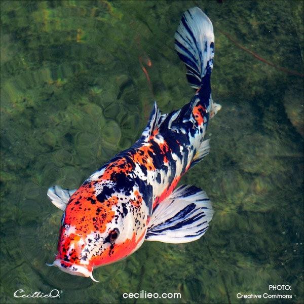 Koi fish reference photo 2