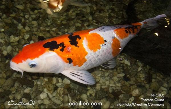 Koi fish reference photo 3