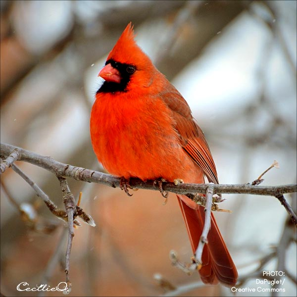 Reference photo of red cardinal.