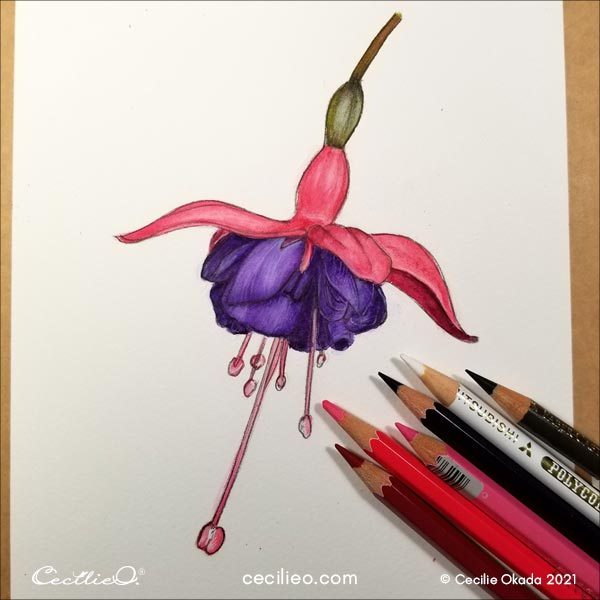 Adjusting the purple petals with colored pencils and white gouache to complete the watercolor fuchsia.