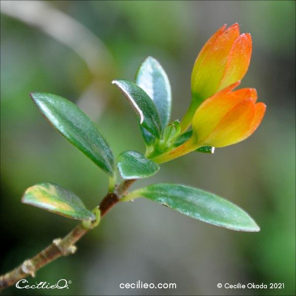 Nematanthus aka Goldfish Plant reference photo.