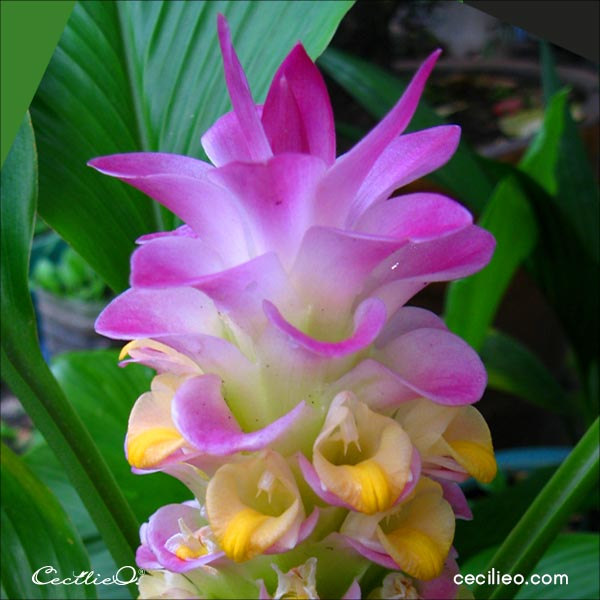 Reference photo of Queen Lily or Turmeric flower.