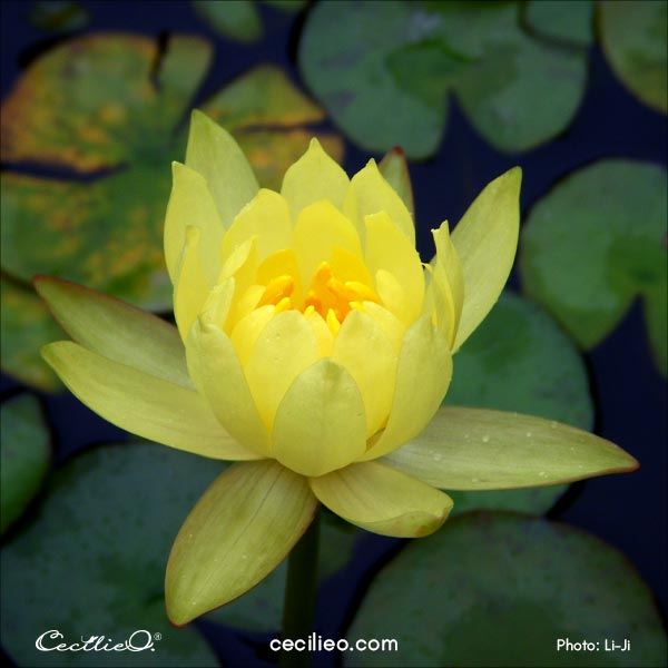The reference photo for the yellow lotus flower.