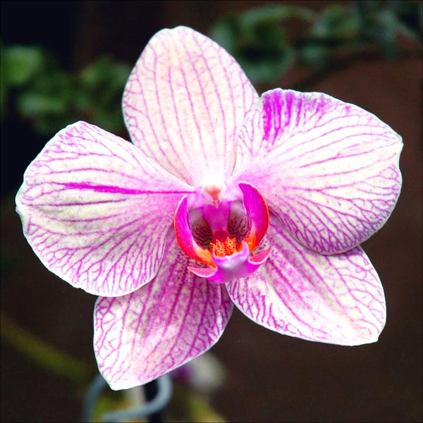 Orchid reference photo.