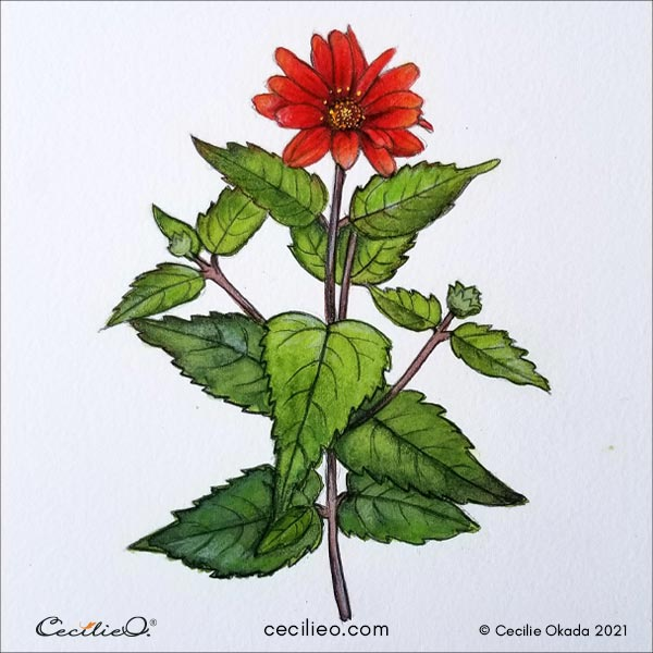 An easy watercolor art project is now complete; a red Mexican sunflower in full bloom.